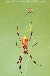 Golden Silk Spider - Male and Female