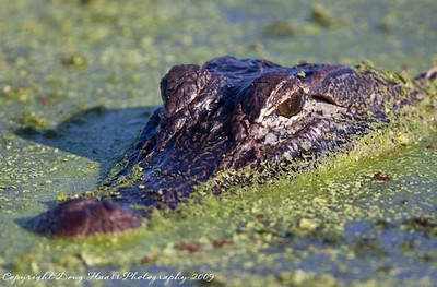 American Alligator at 40 Acre Lake