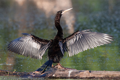 Anhinga drying its wings on 40 Acre Lake