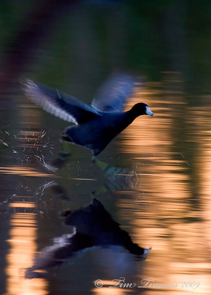 Coot on the run