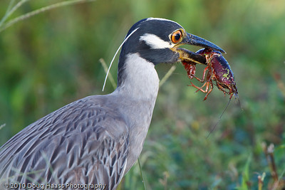 Yellow-crowned Night Heron eating a crawfish