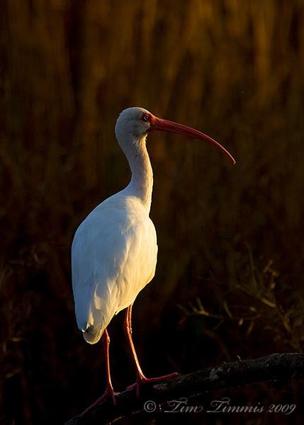 White Ibis at sunrise