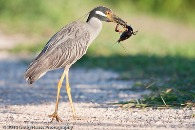 Yellow-crowned Night Heron with Crawdad