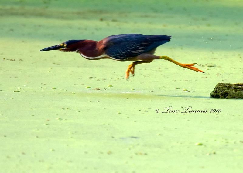 Green Heron diving for food