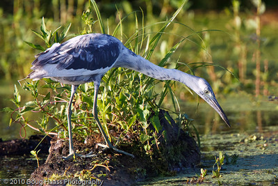 Immature Little Blue Heron on 40 Acre Lake