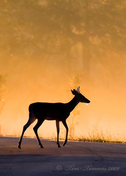 Deer with foggy sunrise