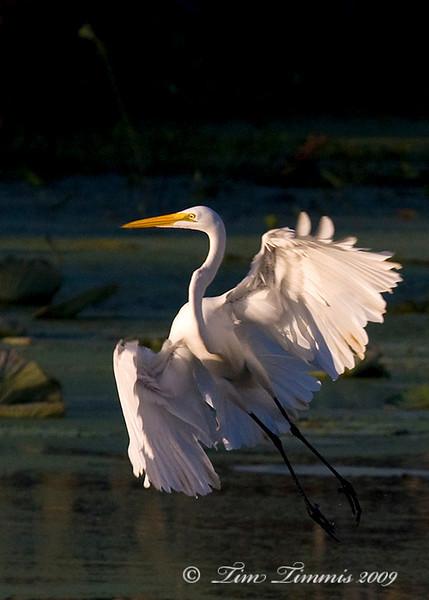 Great egret take off 1