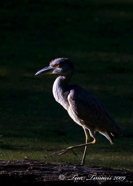 Yellow crowned night heron 2