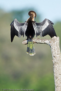 Anhinga preening at 40 Acre Lake
