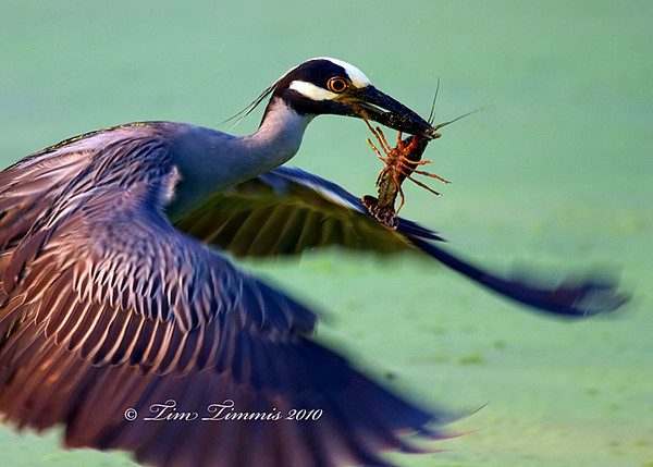 Yellow Crowned Night Heron with a crawfish