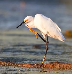 Snowy Egret scratching