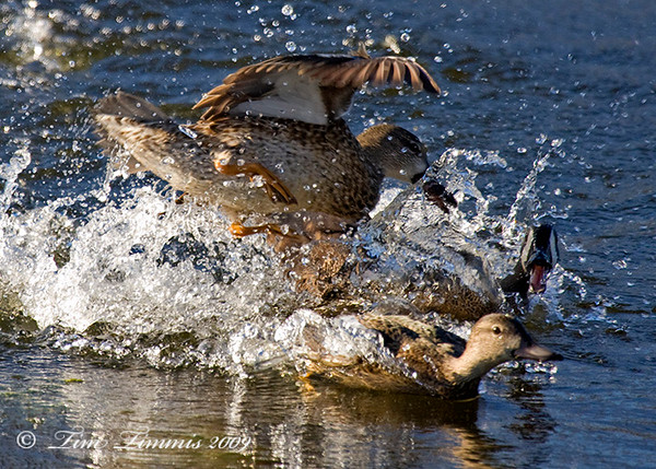 Ducks fighting