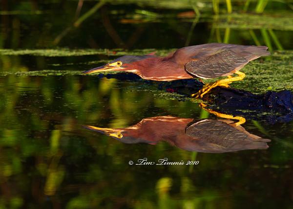 Green heron reflection