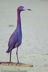 Little Blue Heron on 40 Acre Lake