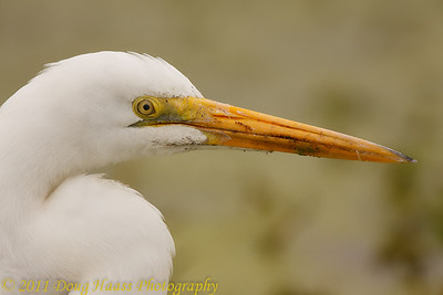 Great Egret on 40 Acre Lake