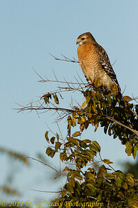 Red-shouldered Hawk on 40 Acre Lake trail
