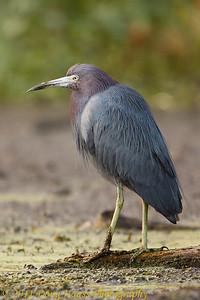 Little Blue Heron on 40 Acre Lake
