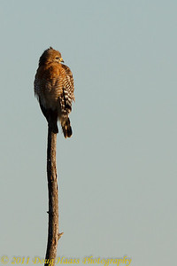 Red-shouldered Hawk on Pilant Lake
