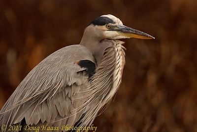 Great Blue Heron on Pilant Lake