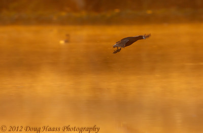 American Coot on liftoff over 40 Acre Lake in fog