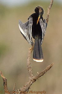 Anhinga in breeding plumage preening on 40 Acre Lake