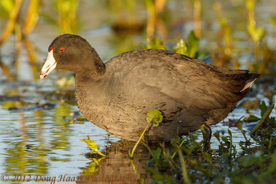 American Coot feeding on 40 Acre Lake