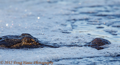 American Alligator waiting at bottom of Spillway for food to float by.