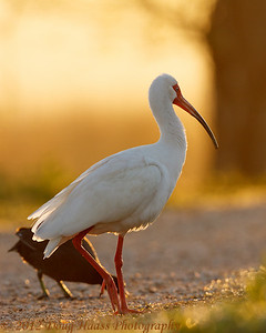 White Ibis sharing trail with American Coot at sunrise