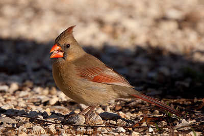Female cardinal feeding