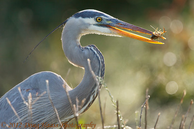 Great Blue Heron feeding on crawdad.