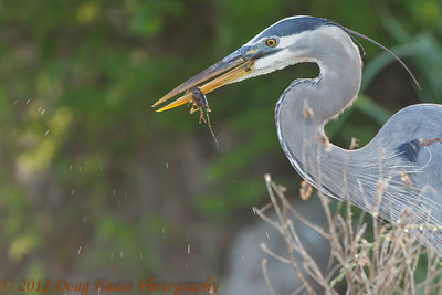 Great Blue Heron taking another crawdad.