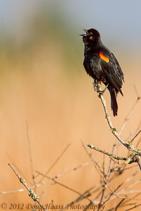 Redwing Blackbird calling out on Spillway Trail