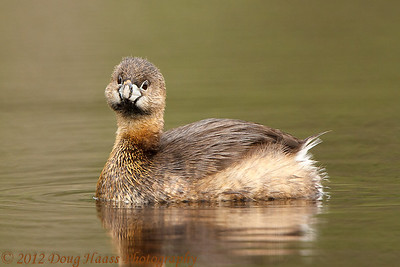Pied-billed Grebe heard me firing the shutter (at Creekfield Lake).