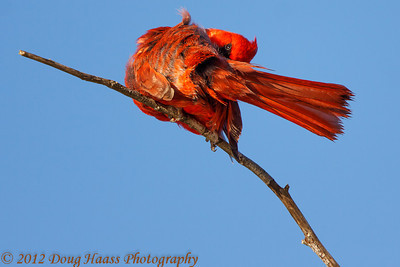 Male Cardinal scratching an itch while giving me the eye on Spillway Trail