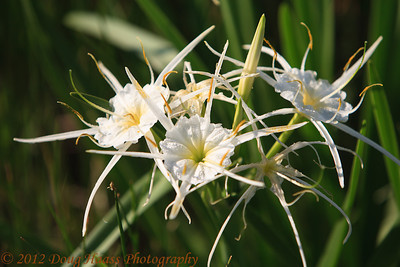 Spider Lillies found just past gate entrance.