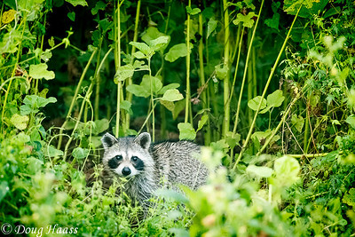 Caught in the act...raccoon spotted me on Spillway trail taking its picture.