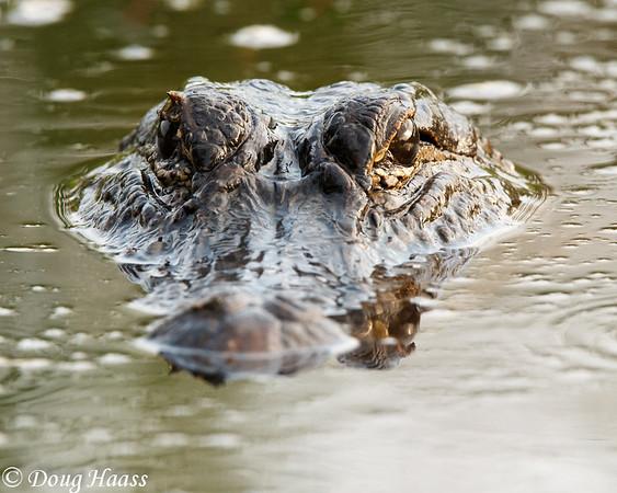 Momma Alligator (about 7 feet)