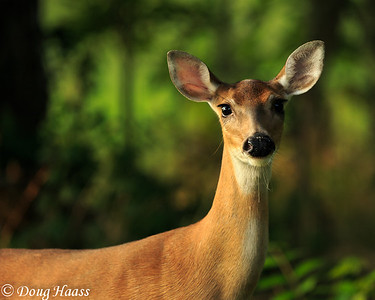 White-tailed deer on Old Horseshoe Lake Trail at sunrise - checking me out.