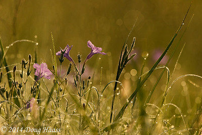 Violet Wild Petunia in dew covered grasses at sunrise