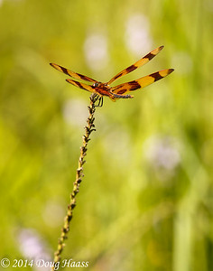 Halloween Pennant Dragonfly on Wildflower Trail