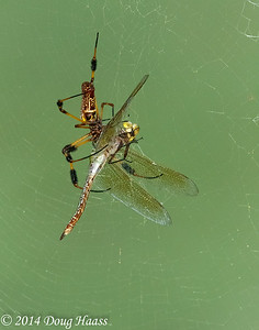 Golden Silk Spider with dragonfly for dinner