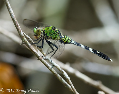 Eastern Pondhawk eating a bug