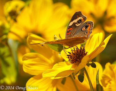 Common Buckeye Butterfly on wildflowers - Smooth Bidens Bidens laevis on 40 Acre Lake