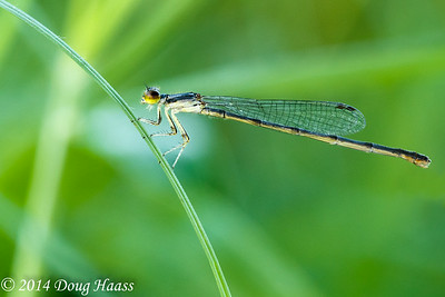 Fragile Forktail Damselfly - Ischnura posita on 40 Acre Lake Trail