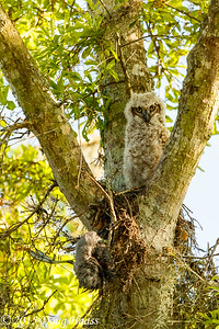Great horned Owl Bubo virginianus owlet