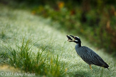 Yellow-crowned Night Heron with Crawfish