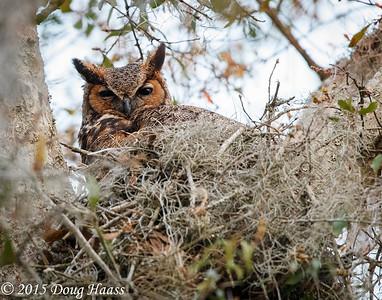 Great horned Owl Bubo virginianus female
