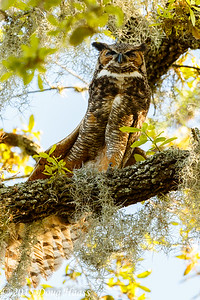 Great horned Owl Bubo virginianus female