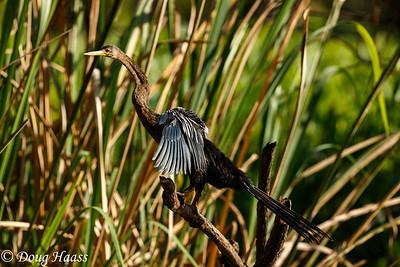 Anhinga Anhinga anhinga, aka snakebird or water turkey