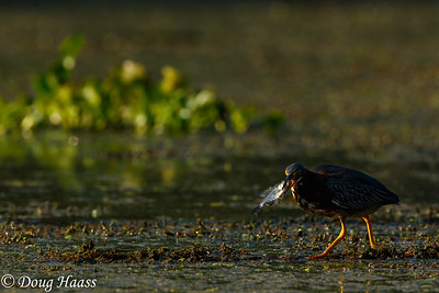 Green Heron Butorides virescens with fish on Elm Lake